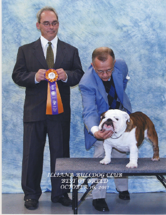 Bulldog Stud Dog for Breeding
